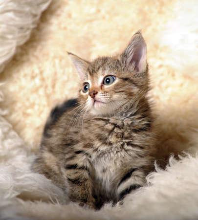 Small striped kitten Stock Photo - 11040135