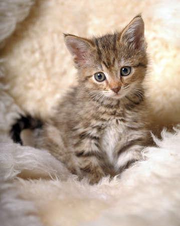 Small striped kitten Stock Photo - 11040137