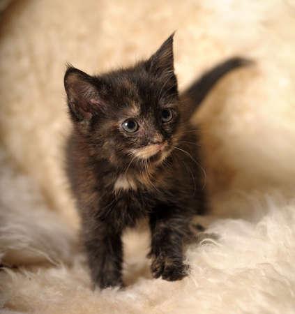 funny little kitten tortoiseshell photo