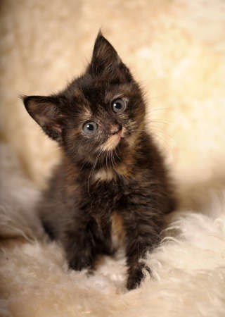 funny little kitten tortoiseshell photo