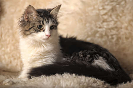 Norwegian Forest Cat, 5 months old, sitting  photo