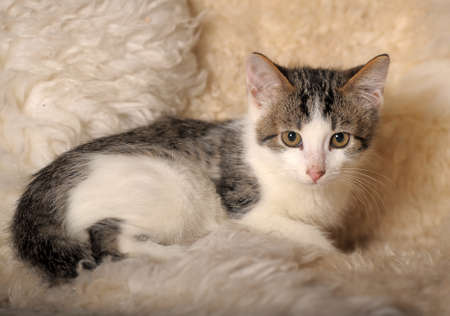 coverlet: Gray with white a kitten sitting on a fluffy coverlet  Stock Photo
