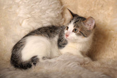 Gray with white a kitten sitting on a fluffy coverlet  photo