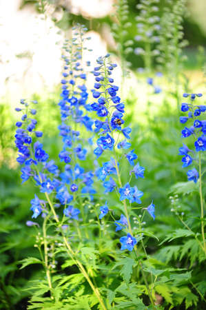 Blue flowers in the garden photo