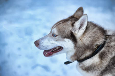 red husky photo