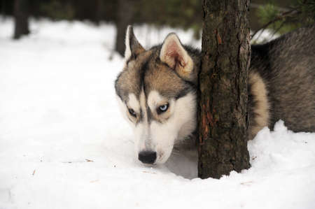 Husky dog Stock Photo - 11122650