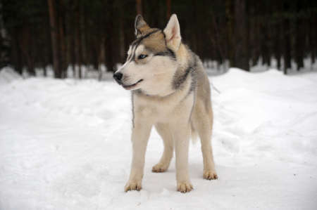Husky dog Stock Photo - 11122607