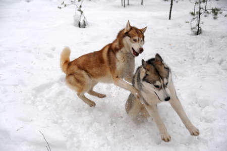 siberian: Two Huskies (dogs) playfully fighting