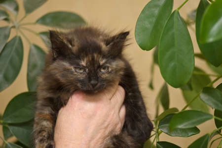 Kitten on hands at the woman photo