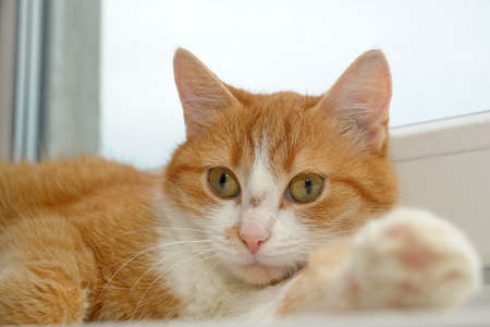 Close-up portrait of a ginger cat photo