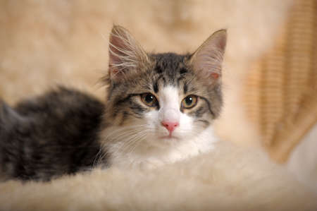 Fluffy kitten Stock Photo - 11994047