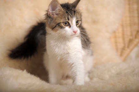 Fluffy kitten Stock Photo - 11994045