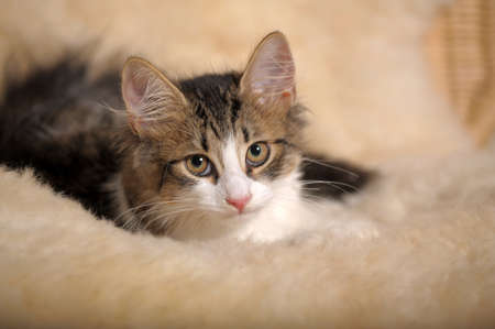 Fluffy kitten Stock Photo - 11994059