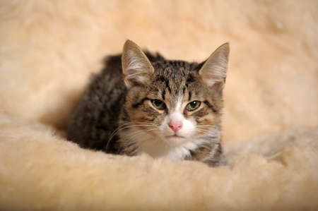 striped kitten with a white breast photo