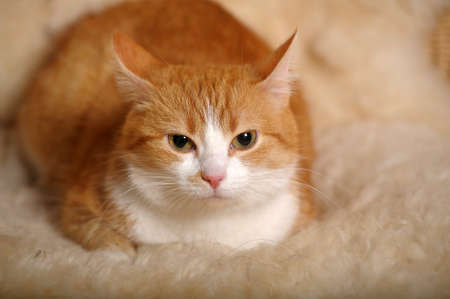 ginger cat with white breast photo