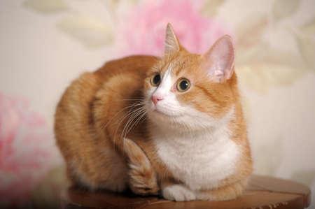 chat roux à la poitrine blanche