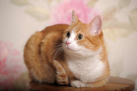 ginger cat with white breast 版權商用圖片
