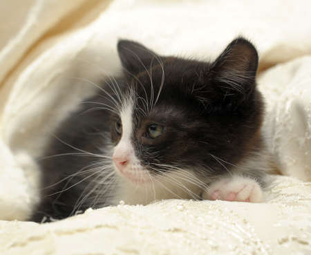 black kitten with a white breast Stock Photo - 11869622