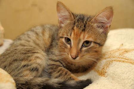 Tri-color striped kitten photo