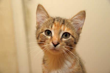 Tri-color striped kitten Stock Photo - 11422417