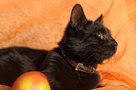 black cat with apple on an orange background Stock Photo - 13683668