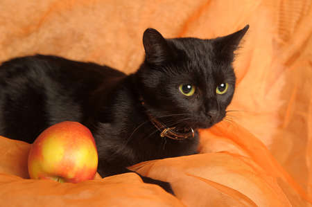 black cat with apple on an orange background Stock Photo - 13683670