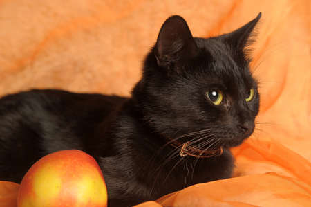 black cat with apple on an orange background Stock Photo - 13683685