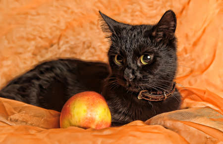 black cat with apple on an orange background Stock Photo - 13683671