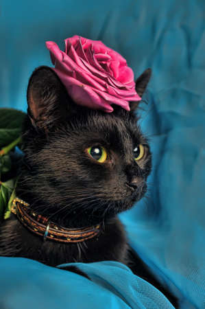 maine cat: Black cat with a rose