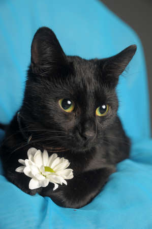 moggi: Black cat with a white flower  Stock Photo