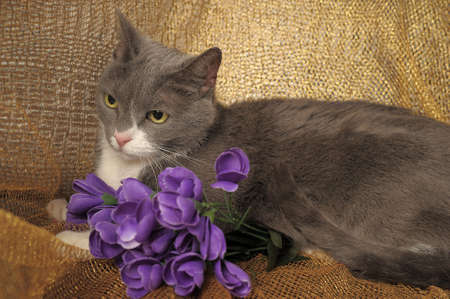 Beautiful gray with white a large cat  photo