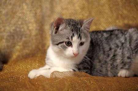Gray british kitten  photo