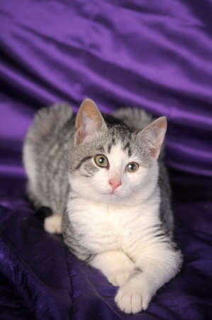 British gray with white kitten photo