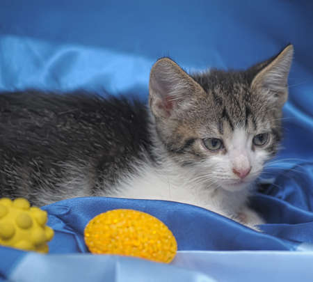 critter: gray and white kitten