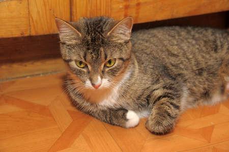 EUROPEAN SHORTHAIR CAT Stock Photo - 13570961