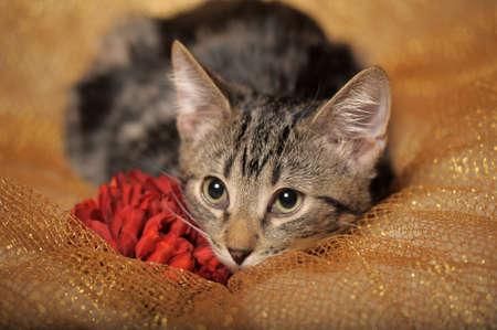 EUROPEAN SHORTHAIR CAT photo