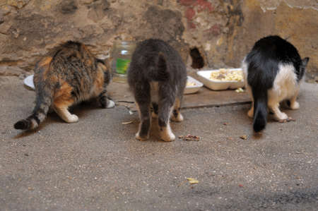 Three street cats eat  photo