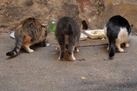 Three street cats eat  photo
