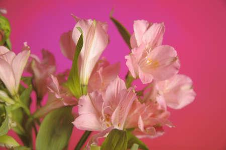 alstroemeria: Flowers alstroemeria