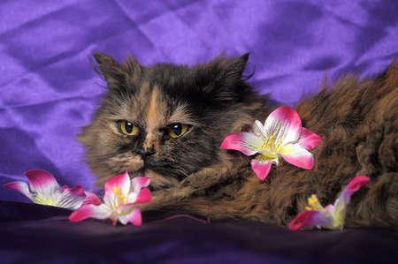 mustaches: tortoiseshell Persian cat with flowers Stock Photo