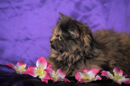 tortoiseshell Persian cat with flowers photo