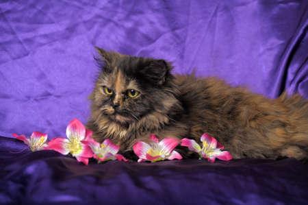 tortoiseshell: tortoiseshell Persian cat with flowers Stock Photo