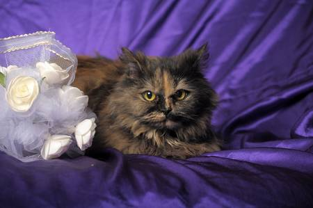 Persian cat and a wedding bouquet Stock Photo - 11358188