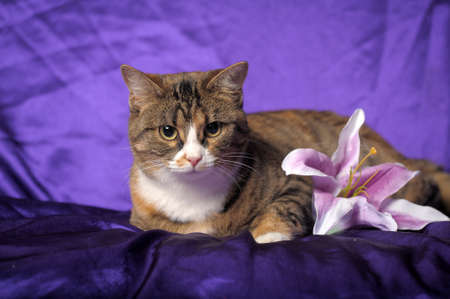 tabby cat with white breast and lilac lily photo