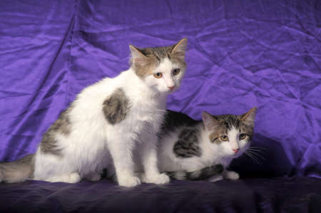 two gray and white kitten photo