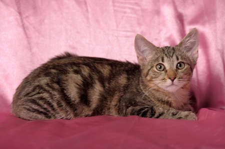 striped tabby kitten on a pink background photo