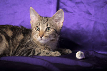 striped tabby kitten on purple background photo