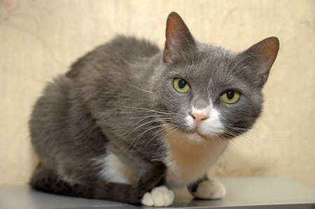 gray and white shorthair cat photo