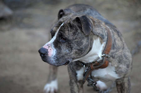American Staffordshire terrier photo