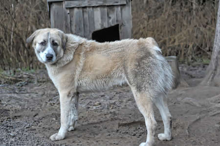 Anatolian Shepherd dog  photo